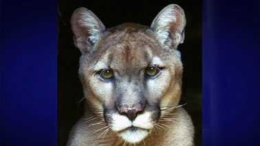 Dodger cougar euthanized