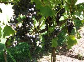You can go and see the vineyards themselves at Sanders Ridge Vineyard.