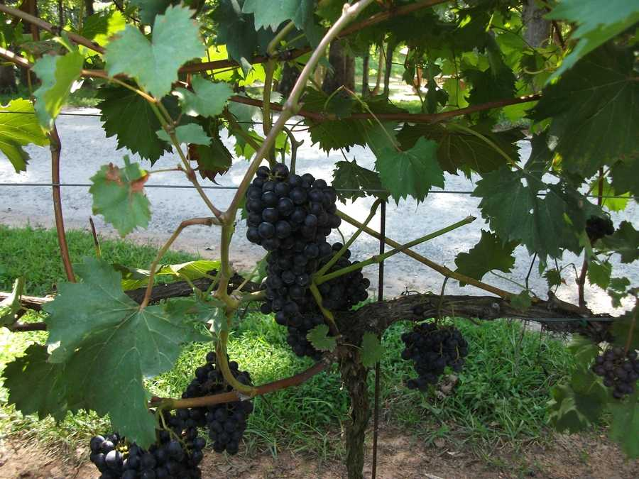 Click hereto get in touch withSanders Ridge Vineyard for tour group information.