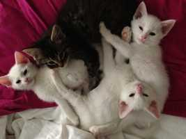 O'Malley (dark), Toulouse, Berlioz, Figaro and Napoleon- These 3 month old kitties are full of love and energy! They have fun playing all day, and at night they like to cuddle in bed.  Visit http://www.hsaconline.org/ if interested in adoption.