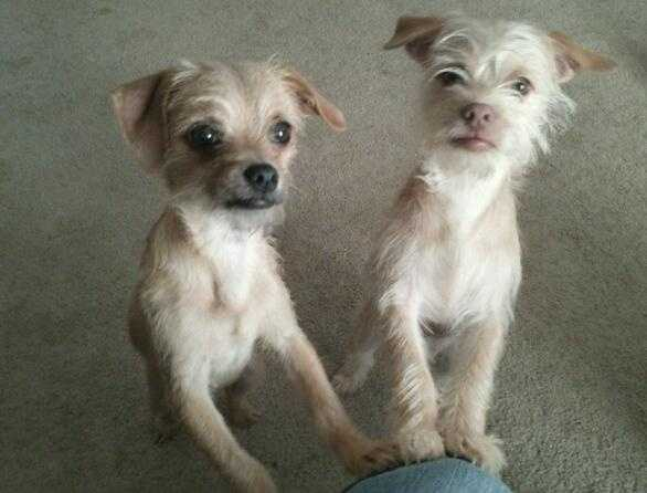 Otis and Milo are two Chihuahua mix brothers hoping to find their fur-ever family soon! They are two years old. These boys are learning to be better around dogs, and they are already great around kitties. Visithttp://www.hsaconline.org/ if interested in adoption.
