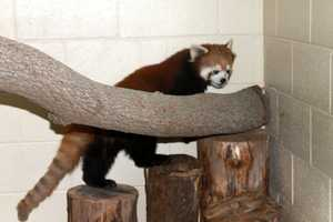 Red pandas are smal, arboreal animals that are distant cousins to the giant (black and white) pandas.