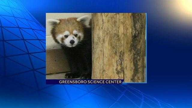 A red panda, named Taiji, has arrived at the Greensboro Science Center. Check out these great photos!