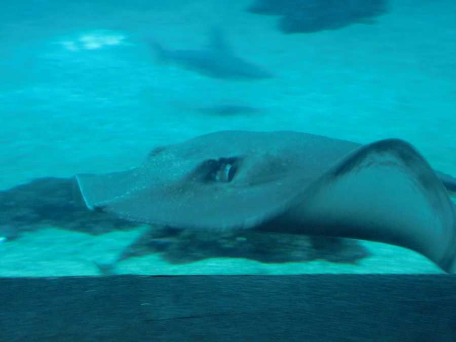 Stingrays have tail features with a poisonous barb, which is used only in self-defense. Stingrays are generally docile and will swim close to divers and snorkelers without fear.