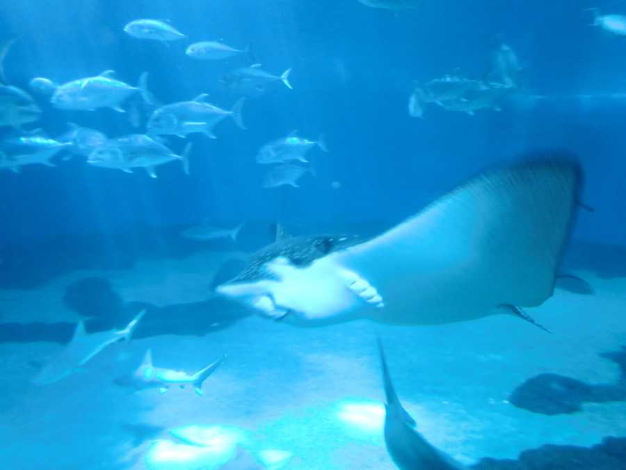 Stingrays swim with other fish in the Maui Ocean Center. They can change colors to hide at the bottom of the ocean or hide against rocks so their prey, predatory sharks or larger rays won't see them.