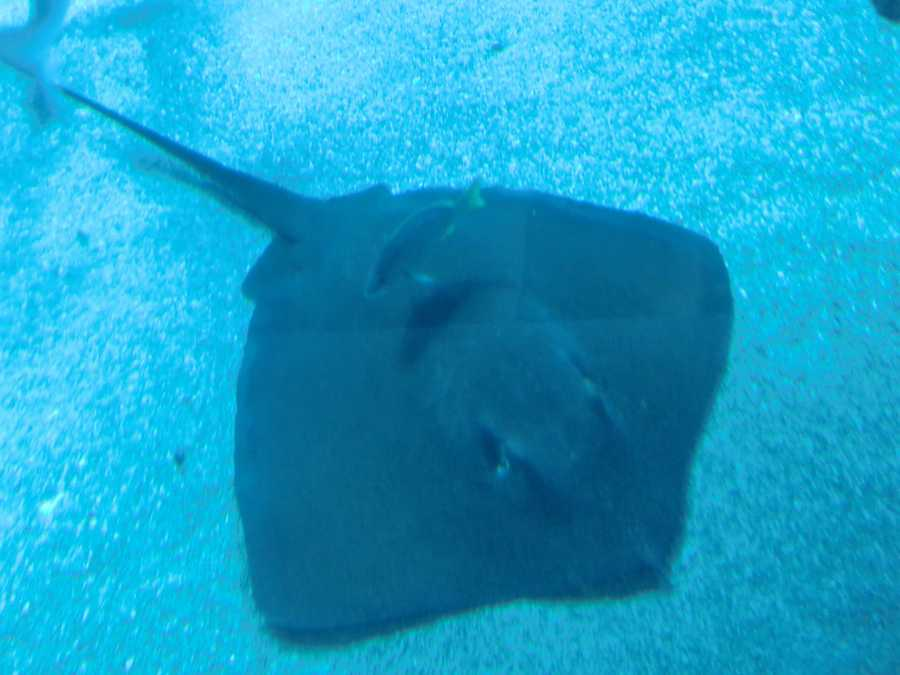 The stingray's spine, or barb, can be ominously fashioned with serrated edges and a sharp point. The underside may produce venom, which can be fatal to humans and can remain deadly even after the stingray's death.