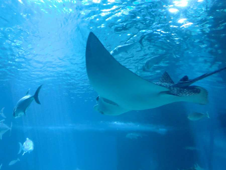 Like the sharks, the stingray has electrical sensors around its mouth. These organs sense the natural electrical charges of potential prey. Many rays have jaw teeth to help them crush clams, oysters and mussels.