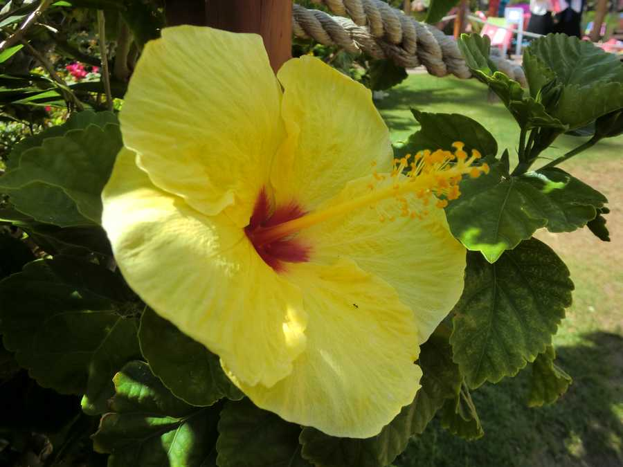Angela got this shot of a beautiful yellow and red hibiscus flower and a small ant getting some nectar.