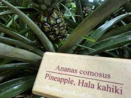 Pineapple, or hala kahiki in Hawaiian, looks pretty good on the plant.