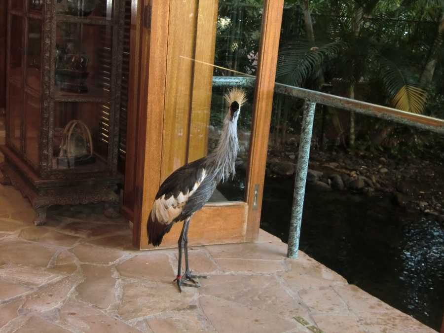 The Maui hotel had a lot of animals running around. This fine bird roamed the hotel lobby.