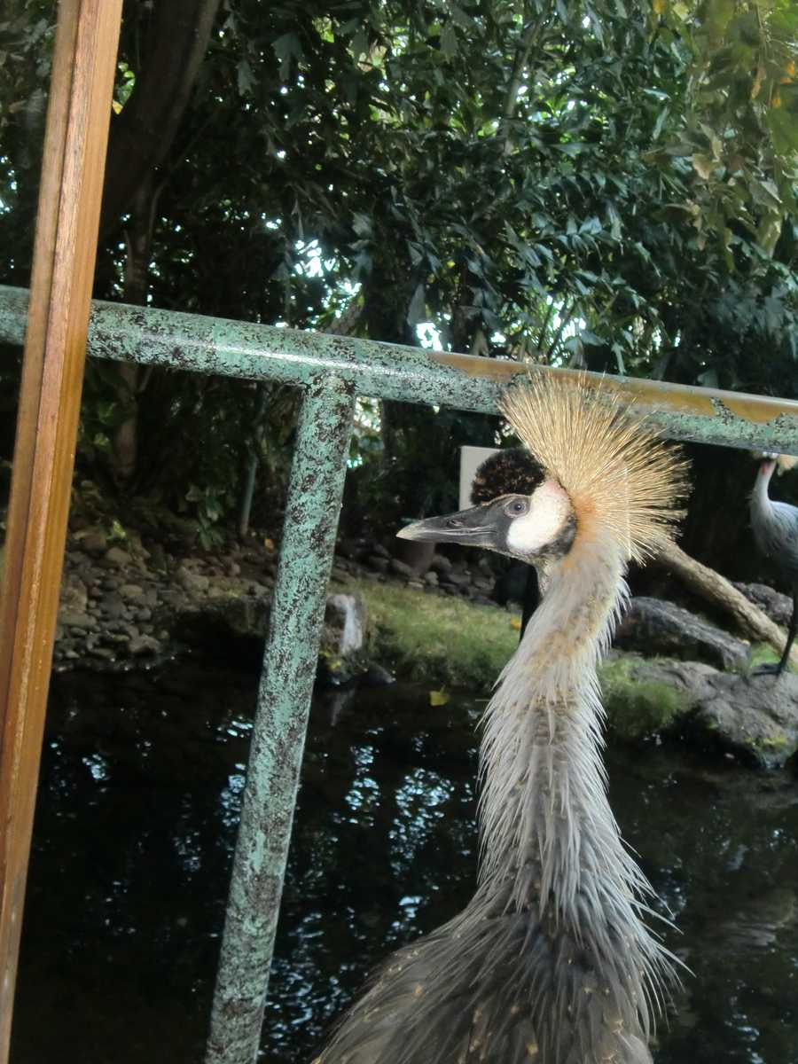This African Crowned Crane enjoyed getting his photo taken.