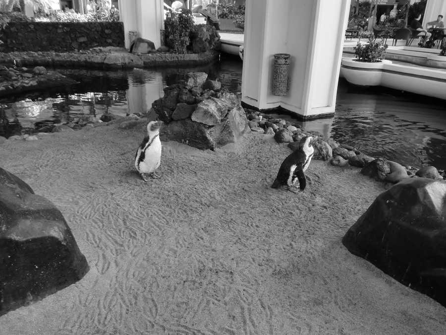 They had a beautiful area of the Maui hotel to enjoy, and they swam in their own pool.