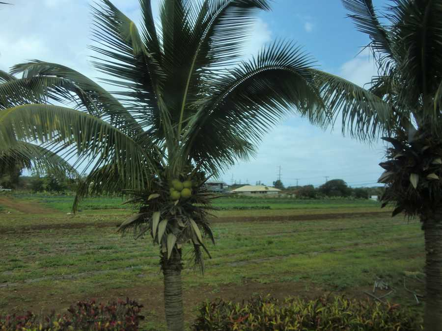 Maui Tropical Planation gives a great tour with all kinds of produce. Here is a coconut tree.