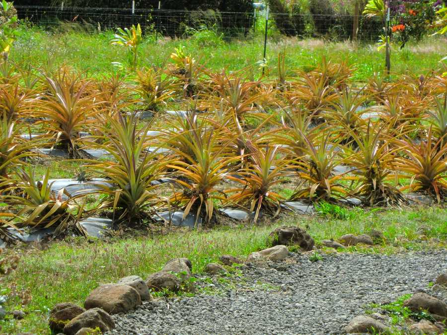 The Maui Tropical Plantation grows all kinds of fruits and gives tours.