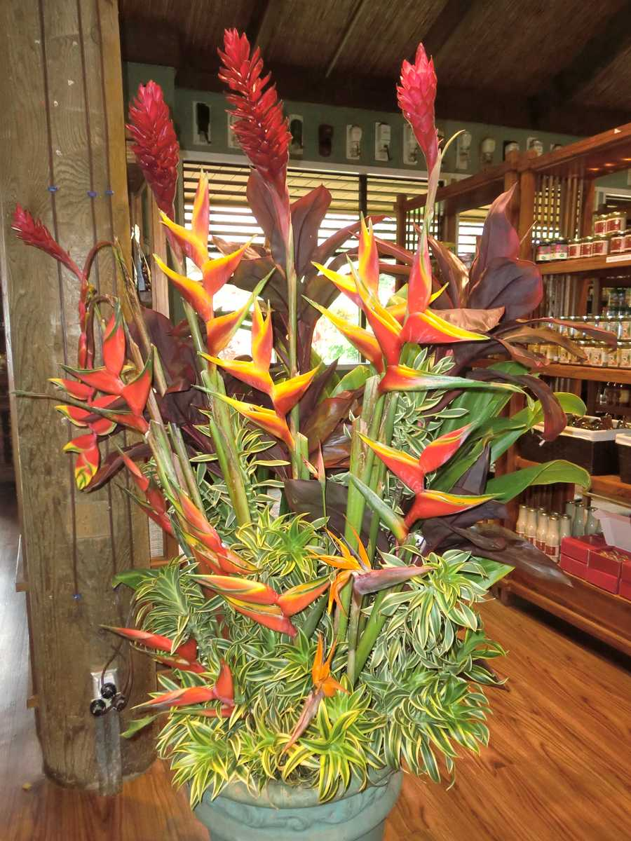 Beautiful Heliconia are on display inside the Plantation shop.