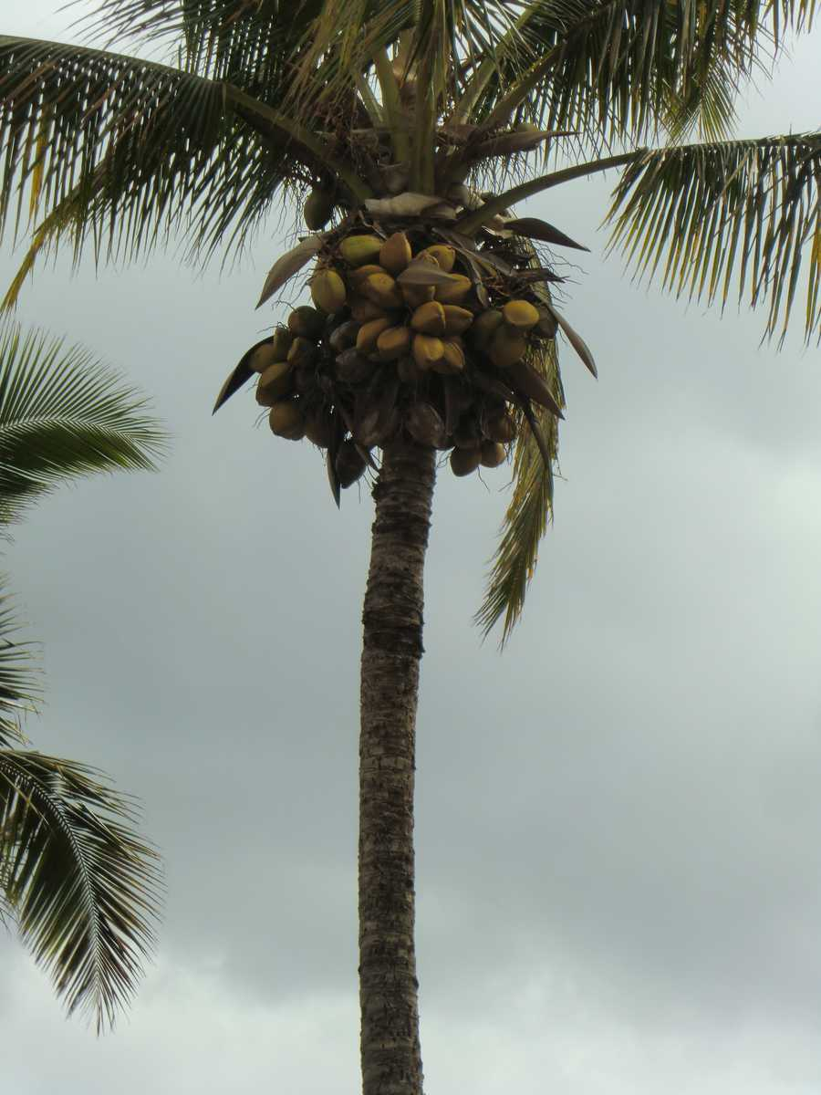 Lots of coconuts are growing on the plantation.