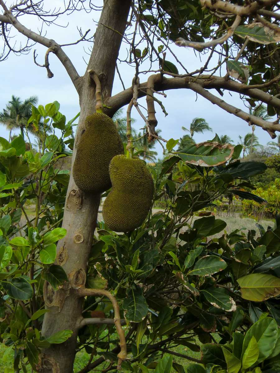 Jackfruit is one of the biggest tree fruits in the world, growing up to 3 feet long and weighing up to 100 pounds.