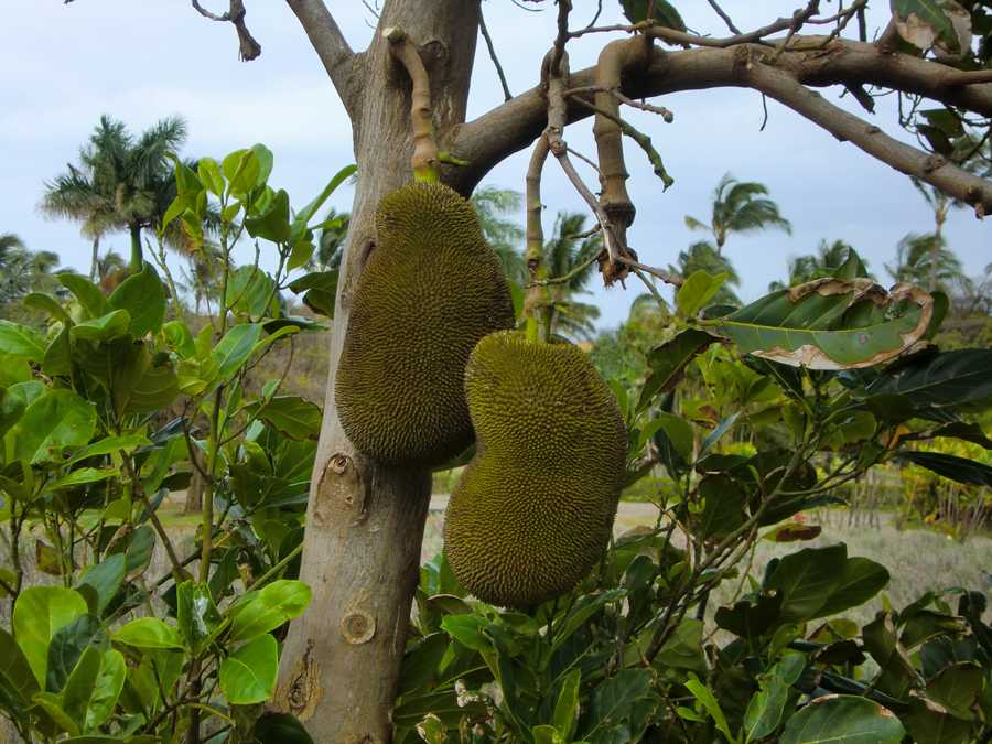 The unopened Jackfruit emits a smell like rotten onions, but after opening it smells like pineapple and orange. It is the fruit behind the Juicy Fruit gum.