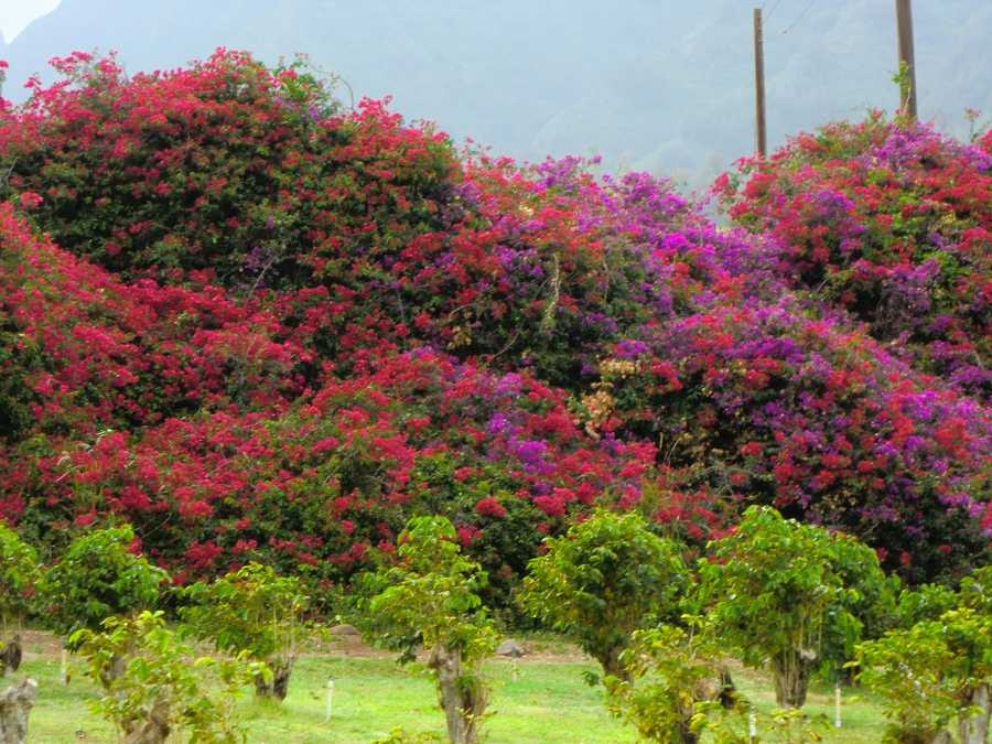Beautiful Hawaiian flowers in the background of the produce growing on the Maui Tropical Plantation.