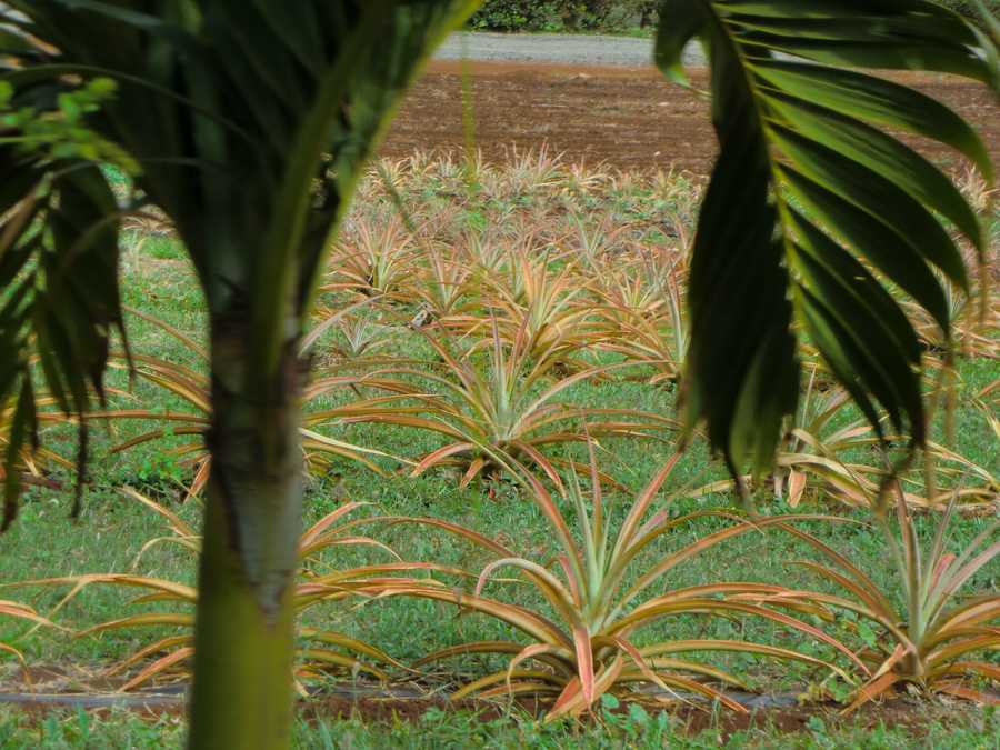 The pineapple trees are just starting to grow.