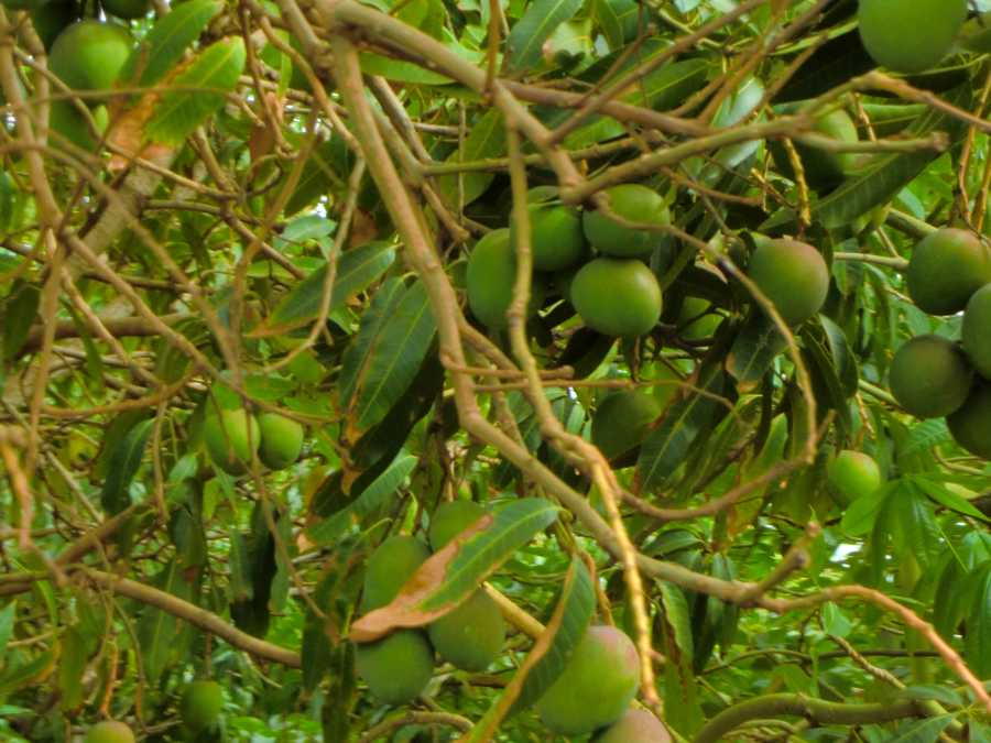 Mangoes growing for the picking at the Maui Tropical Plantation.