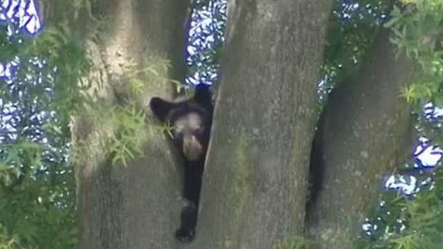 Bear near NC A&T