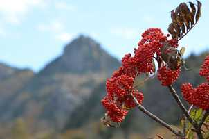 Berries in the foreground of Grandfather Mountain.