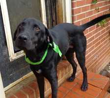 Meet Bo, a handsome, 3 year old male Black Labrador Retriever dog who weighs 50 lbs. We consider him a medium to large dog. Bo was rescued from a dog hoarding situation in Stokes County, NC, from a woman who ended up with 30 plus dogs and quickly became overwhelmed. This story made our local news (News 14 + Fox News). I've been rescuing dogs since July 2009 and it's my opinion that the seven dogs we took into rescue from that situation were loved, well fed and are very socialized. They do not appear to be abused -I think the woman gave these unwanted dogs a place to go but she did not have the funds to get the dogs what they needed medically.Bo is a friendly and loving dog. Bo has an outstanding personality and he would make a great family dog. Since arriving to the rescue, Bo has been brought up to date on all of his shots, is Heartworm negative (a great thing) and got a Home Again Microchip. In addition, Bo had a flea treatment, was dewormed and had his first month's heartworm prevention pill. Bo has been neutered. Bo was is on the thin side and now that he has been dewormed, he should start to put some weight back on. He is eating Blue Buffalo dog food and he loves to eat!Bo knows how to walk on a leash and he is crate trained. We were told that Bo lived outside on a chain at this person's house so we can't guarantee that he is housetrained yet. Since arriving to our rescue on 10-30-13, Bo has not had one accident in his crate or in our house. Bo was professionally groomed on Oct. 31, 2013 and he is shiny and clean. The groomer said that he didn't care for having his toe nails cut but that may be just because he has not had that done a lot. Bo has a shiny, jet black coat with a tiny white star on his chest It's the opinion of our trusted vet that he is a purebred Labrador Retriever. Bo rides great in the car and you can tell that he was very well socialized when he was a pup. He is smart and would make an outstanding hunting dog for the owner willing to train him.