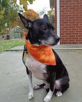 Meet Chopper, a handsome, male 5 year old, Boston Terrier mix dog who weighs 22 lbs. We consider him a small dog. Chopper was rescued from a dog hoarding situation in Stokes County, NC, from a woman who ended up with 30 plus dogs and quickly became overwhelmed. This story made our local news (News 14 + Fox News). I've been rescuing dogs since July 2009 and it's my opinion that the seven dogs we took into rescue from that situation were loved, well fed and are very socialized. They do not appear to be abused -I think the woman gave these unwanted dogs a place to go but she did not have the funds to get the dogs what they needed medically.Chopper is a friendly and loving dog. Chopper has a warm personality and he would make a great family dog. Since arriving to the rescue, Chopper has been brought up to date on all of his shots, and got a Home Again Microchip. In addition, Chopper had a flea treatment, was dewormed and had his first month's heartworm prevention pill. Chopper has an appointment to be neutered at our vet on Nov. 6. Chopper tested negative for Heart worms (a great thing). He is eating Blue Buffalo dog food and he loves to eat!Chopper knows how to walk on a leash and he is crate trained. We were told that Chopper lived inside the person's house so we believe that he may be housetrained. Since arriving to our rescue on 10-30-13, Chopper has not had one accident in his crate or in our house. Chopper was professionally groomed on Oct 31, 2013. Chopper has a thick, black shiny coat with beautiful white markings. It's the opinion of our trusted vet that he is a BostonTerrier mix. Chopper is well behaved and on the quiet side. He is smart and would make an outstanding family dogChopper's adoption fee is $300.00. To give Chopper a great home, contact Robin at 336-414-1373 or Robin@insightrecruiters.com.
