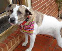 Meet Wacca, a beautiful, female American Bull Dog mix dog who weighs 50 lbs. We consider her a medium to large dog. Wacca was rescued from a dog hoarding situation in Stokes County, NC, from a woman who ended up with 30 plus dogs and quickly became overwhelmed. This story made our local news (News 14 + Fox News). I've been rescuing dogs since July 2009 and it's my opinion that the seven dogs we took into rescue from that situation were loved, well fed and are very socialized. They do not appear to be abused -I think the woman gave these unwanted dogs a place to go but she did not have the funds to get the dogs what they needed medically.Wacca is a friendly and loving dog. She has an outstanding personality and she would make a great family dog. Since arriving to the rescue, Wacca has been brought up to date on all of her shots, is Heartworm negative (a great thing) and got a Home Again Microchip. In addition, Wacca had a flea treatment, was dewormed and had her first month's heartworm prevention pill. Wacca is scheduled to be spayed at our vet on Wed, Nov. 6, 2013.Wacca knows how to walk on a leash and she is crate trained. We were told that Wacca lived outside on a chain at this person's house so we can't guarantee that she is housetrained yet. Since arriving to our rescue on 10-30-13, she has not had one accident in her crate or in our house. Wacca was professionally groomed on Oct. 31, 2013 and she has a gorgeous white coat with brindle markings. It's the opinion of our trusted vet that she is a Bulldog mix.Wacca's adoption fee is $250.00. To give Wacca a great home, contact Robin at 336-414-1373 or Robin@insightrecruiters.com.