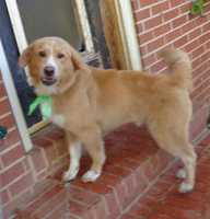Meet Miles, a handsome, male 7-month old, Golden Retriever mix dog who weighs 36 lbs. We consider him a medium dog. Miles was rescued from a dog hoarding situation in Stokes County, NC, from a woman who ended up with 30 plus dogs and quickly became overwhelmed. This story made our local news (News 14 + Fox News). I've been rescuing dogs since July 2009 and it's my opinion that the seven dogs we took into rescue from that situation were loved, well fed and are very socialized. They do not appear to be abused -I think the woman gave these unwanted dogs a place to go but she did not have the funds to get the dogs what they needed medically.Miles is a friendly and loving dog. Miles has an outstanding personality and he would make a great family dog. Since arriving to the rescue, Miles has been brought up to date on all of his shots, and got a Home Again Microchip. In addition, Miles had a flea treatment, was dewormed and had his first month's heartworm prevention pill. Miles has an appointment at our vet on Wed. Nov. 6th to be neutered. Miles tested positive for Heart worms when he arrived at our rescue but given his age and the fact that is was caught early, Miles was easily treated to eradicate his heartworms. Miles will come with 1 year of Heartworm preventative pills. Miles was is on the thin side and now that he has been dewormed, he should start to put some weight back on. He is eating Blue Buffalo dog food and he loves to eat!Miles knows how to walk on a leash and he is crate trained. We were told that Miles lived outside on a chain at this person's house so we can't guarantee that he is housetrained yet. Since arriving to our rescue on 10-30-13, Miles has not had one accident in his crate or in our house. Miles was professionally groomed on Nov. 1, 2013. Miles has a thick, shaggy golden coat with a white chest. It's the opinion of our trusted vet that he is a Golden Retriever mix. Miles rides great in the car and you can tell that he was very well socialized when he was a pup. He is smart and would make an outstanding family dog. Because he is still a puppy, he is growing and will need basic obedience training. Miles has been neutered and his teeth were professionally cleaned.Miles's adoption fee is $350.00. To give Miles a great home, contact Robin at 336-414-1373 or Robin@insightrecruiters.com.