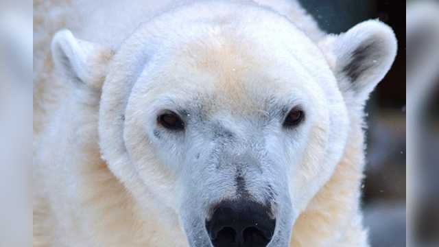 Patches will be the newest addition to the North Carolina Zoo polar bear exhibit.