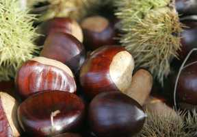17. Chestnuts were so prevalent in the area that whole freight-car loads were once shipped from Mount Airy.
