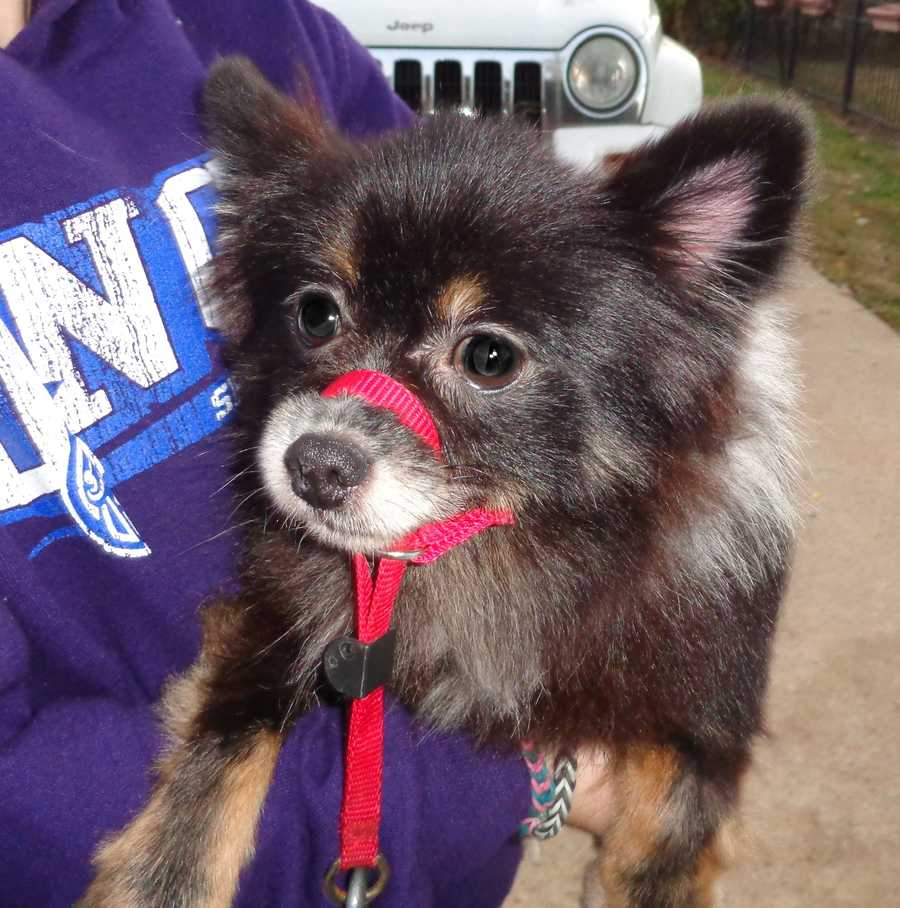 Meet Happy, a 5-7 year old, female Pomeranian / Papillon mix dog who weighs 11 lbs. and is full-grown. She was named Happy because her tail never stops wagging and she has never met a stranger. Happy came into our rescue, from the Rockingham Animal Shelter when they recently seized 30 plus animals from an animal hoarder in Stoneville, NC.Happy has been professionally groomed by the talented, Meredith Page of Don and Diva's Hair Salon and she was featured on WXII new's coverage of the dogs being groomed on Wed, Nov. 3. Happy is up to date on all of her shots, has a Home Again Microchip and is heartworm negative, a great thing.Happy is being taught how to walk on a leash by our middle school volunteers and she is picking it up quickly. Happy has an appointment to be spayed on Nov. 18 and to have her teeth professionally cleaned. It is very possible she is not as old as 5 years old. Once our vet is able to examine her teeth, we will update her age.Happy is crate trained, is quiet as a church mouse and seems to be housetrained, although it is too soon to tell. Based on Happy's disposition, we do not believe that Happy was beaten however Happy was definitely neglected by her owner. Her owner did not get her regularly groomed and she was covered in waste and fleas. Happy did not receive regular medical treatment and even basics like flea prevention, etc. Only Happy knows what it was like to live in that environment but Happy came out of it, ecstatic to be clean, loved and on the mend.Happy is lovely around children and other animals.Happy's adoption fee is $350 which will cover the cost of her spay and her dental. Her adoption fee could increase slightly if she has to have teeth extracted.To give Happy a great home, contact Robin at 336-414-1373 or Robin@insightrecruiters.com.