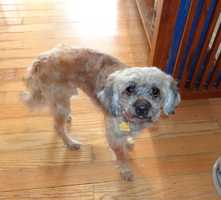 Meet Lambeau, a 5 year old, male Poodle mix dog who weighs 11 lbs. and is full-grown.  He was named Lambeau because he is as soft as a lamb and we like football!  Lambeau came into our rescue, from the Rockingham Animal Shelter when they recently seized 30 plus animals from an animal hoarder in Stoneville, NC. Lambeau has been professionally groomed by the talented, Ashley Hanes and Meredith Page of Don and Diva's Salon. Lambeau was featured on WXII new's coverage of the dogs being groomed on Wed, Nov. 5.  Lambeau is up to date on all of his shots, has a Home Again Microchip and is heartworm negative, a great thing.Lambeau is being taught how to walk on a leash by our middle school volunteers and he is timid because he has never been on a leash before or worn a collar.  He is not at all aggressive, just very, very shy.  Lambeau with a patient owner is going to make an amazing dog. Lambeau was neutered and had his teeth professionally cleaned on Friday, Nov. 8th. Our vet feels that he is approximately 5 years old.Lambeau is crate trained, is quiet as a church mouse and seems to be housetrained, although it is too soon to tell. Based on Lambeau's disposition, we do not believe that Lambeau was beaten however Lambeau was definitely neglected by his owner.  Her owner did not get Lambeau regularly groomed and he was covered in waste and fleas.  Lambeau did not receive regular medical treatment and even basics like flea prevention, etc.  Only Lambeau knows what it was like to live in that environment but Lambeau came out of it, ecstatic to be clean, loved and on the mend.Lambeau is lovely with children and other animals.  He does enjoy being held and he will socialize with other dogs in the yard.  His owner will need to have a fenced in yard.  Lambeau is like Christopher Columbus – he is seeing a whole new world for the first time and is not sure what to make of it.Lambeau's adoption fee is $400, which will cover the cost of his neuter and his dental.To give Lambeau a great home, contact Robin at 336-414-1373 or Robin@insightrecruiters.com.