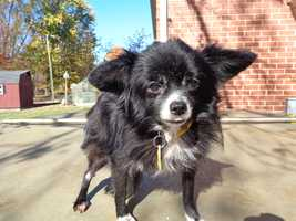 Meet Missy, a 3 year old, female Pomeranian / Pappion mix.  Missy is friendly, well mannered and a very quiet, tiny dog who has a gorgeous, long and shaggy coat.  She weighs 8 lbs and is full grown.  Missy came into our rescue, from the Rockingham Animal Shelter when they recently seized 30 plus animals from an animal hoarder in Stoneville, NC. Missy has been spayed and has a Home Again microchip.  She is up to date on all of her shots and is heartworm negative.  Missy is crate trained.  Missy also appears to be house trained.  Since Missy arrived to our rescue on 11-5-13, it is too soon to say with 100% certainty. Missy is scheduled to have her teeth cleaned at our vet on Nov. 18th.  Missy can be adopted before that appointment and her new owners can bring Missy to the appointment or Missy can be returned to our rescue and we will gladly bring her to the appointment.  Missy was professionally groomed on 11-4-13 and she looks terrific. Thanks to talented professional dog groomers, Meredith Page and Ashley Hanes who donated their time to groom these neglected dogs, Missy looks like a million dollars!  Missy is eating Blue Buffalo Dog food. Missy does quite well with other dogs and with children.  Missy is a very quiet little dog who doesn't really seem to know how to be a dog.  In other words, she has not had many dog toys or dog treats over the years and no one ever took the time to teach her how to walk on a leash.  Our student volunteers have been patiently teaching Missy how to walk on a leash using a gentle leader collar.  Each day she makes progress.  Missy is smart and loves to be held and cuddled.  Missy needs an owner who is loving and patient.  Missy is not aggressive in the slightest.  She is like Christopher Columbus – she is seeing a whole new world for the first time and is not sure what to make of it.Missy's adoption fee is $400.  To give Missy a great home, contact Robin at 336-414-1373 or Robin@insightrecruiters.com.