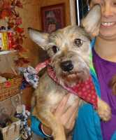 Meet Sunny, a 3 year old, female Miniature Schnauzer.  Sunny is friendly, well mannered and a very quiet, dog who has a gorgeous, non-shedding coat.  She weighs 12 lbs and is full grown.  Missy came into our rescue, from the Rockingham Animal Shelter when they recently seized 30 plus animals from an animal hoarder in Stoneville, NC.  Sunny is up to date on all of her shots and she has a Home Again Microchip.  Sunny was heartworm negative, too, a great thing.  Sunny is scheduled to be spayed on Nov. 18 and she will have her teeth professionally cleaned at that time.  Sunny was professionally groomed, by the great gals at Kathy's Grooming Salon in High Point, NC.  Sunny enjoyed getting cleaned up and being in a warm and safe environment.  Sunny needs an owner who is loving and patient.  Sunny is not aggressive in the slightest.  Sunny is like Christopher Columbus – she is seeing a whole new world for the first time and is not sure what to make of it.  She needs to be taught to walk on a leash, what a toy is and what a dog treat is all about.  She is a smart dog and we know from experience that she will grasp all of those things but needs an owner who will want to work with her. Sunny does great around children and other dogs.  Sunny's adoption fee is $450.  If you send an email inquiring about one of our dogs, be sure to include your phone number and the town/state where you live.  We will gladly contact you about the dog you are interested in promptly.  We adopt out of state to adopters with solid veterinary references. To give Sunny a great home, contact Robin at 336-414-1373 or Robin@insightrecruiters.com