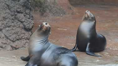 Sea lions Dyson and Storm are now on exhibit at the North Carolina Zoo.