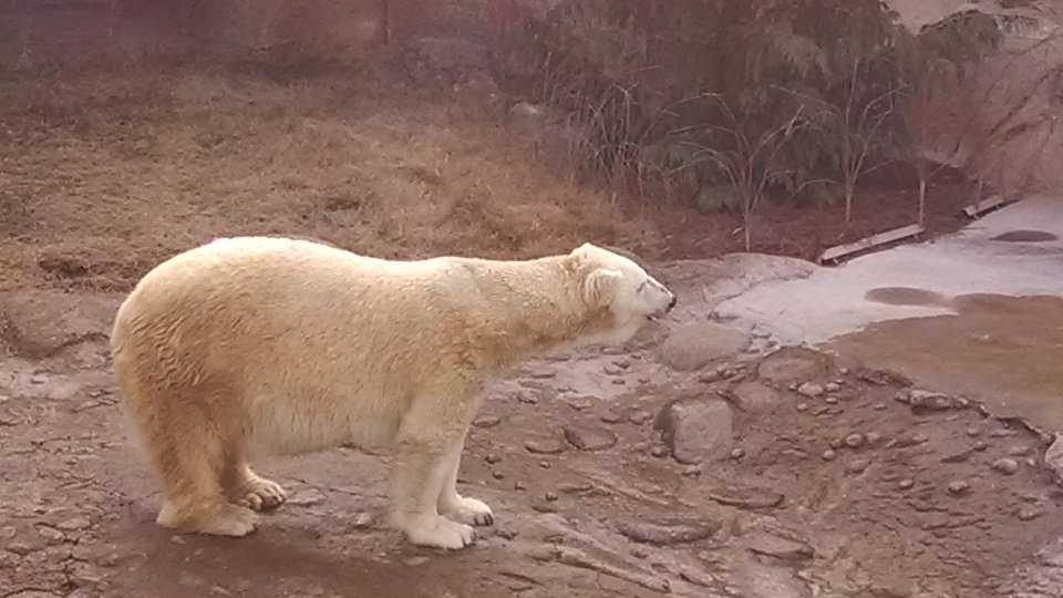 Patches, the female polar bear at the NC Zoo in Asheboro