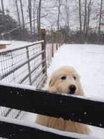 Abby in the snow in Mount Airy.