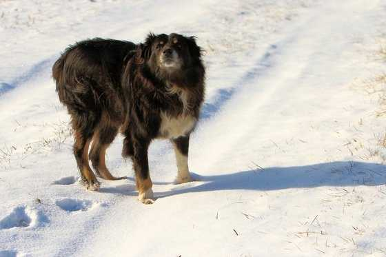 Shep in the snow.