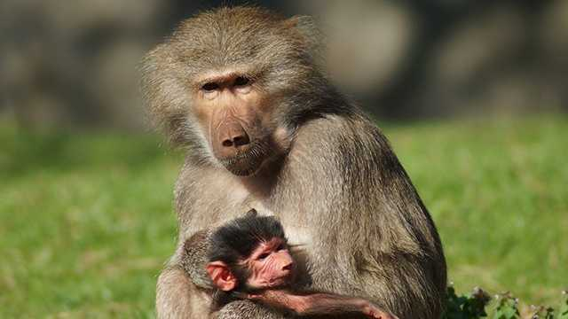 Tankara with baby baboon at NC Zoo