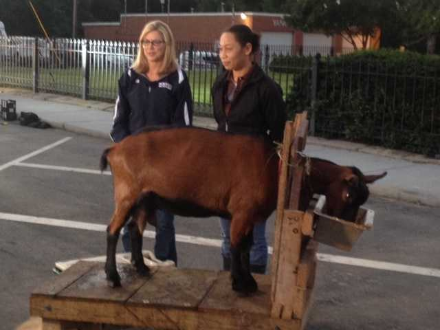 As part of #celebratecaswell, Kimberly Van Scoy and Veronica White took on the challenge of milking goats! (We think they'll keep their day jobs!)