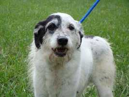 Grady is a senior male Terrier mix. If interested in adopting Grady, Visit Yadkin County Animal Shelter at 1027 Speaks Street, Yadkinville, NC 27055 Monday-Friday 10am-4pm