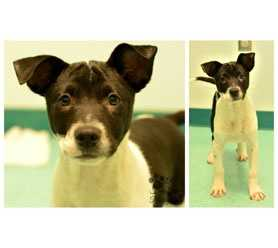 """Mulder is a 5 month old Border Collie puppy. He is shy at first, but in no time he warms up with treats. Mulder loves playing with other dogs and he thinks cats are just a blast to play with, too. Mulder knows """"sit"""" and walks well on a leash for such a young puppy. He is crate trained and almost 100% house trained.If interested in Mulder, log onto http://www.hsaconline.org/adopt.html and fill out an adoption interest form"""