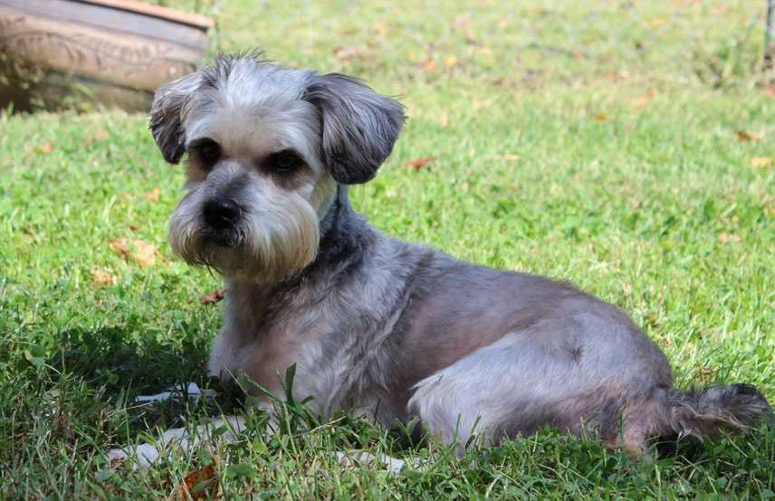 Bandit: 2.5 years old, male, Silver and White, Schnauzer and Yorkie MixBandit is a smart guy who already knows how to come, sit, speak, has leash manners, crate trained, and potty trained. He walks proud in crowds and doesn't know a stranger as in canine, human, or human children any age. He has that Yorkie energy and playful nature, so he would be good for a family with another dog for him to have a playmate. He has been neutered and up to date on all his medical work.If interested in adopting Bandit, visit http://www.furryfriendsofthefoothills.orgfill and adoption application and email it back to them, or call (336)679-9194 (3 (336) 679-9194 36)679-919(336)679-91944