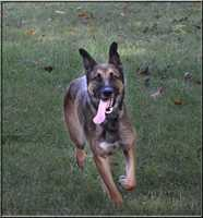 """Kafka – 2-3 year old male, German Shepherd/Malinois MIXKafka loves his people and enjoys daily runs. He is a fast learner and enjoys plenty of exercise and toys! He is what we call a """"velcro"""" dog and loves to stay by your side. Kafka also knows basic commands!If interested in adopting me, please visit German Shepherd Hope Rescue at www.gsdhope.org to put in an application. Once the application has been submitted they will call you for the phone interview and the process begins!!"""