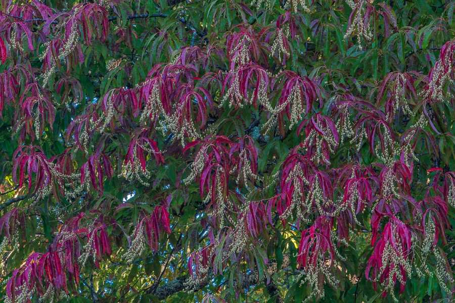 Oct. 3: The crimson leaves of the sourwood tree are among the most showy now visible in the High Country's forests. (Photo by Skip Sickler) The species appears frequently on open slopes and ridges occupied by oaks and pines.