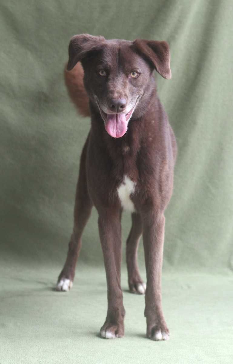 Bailey is a lively 3 year, 2 month old female Labrador Retriever mix whose vibrant chocolate color is eye-catching she will surely be the perfect addition to your home this fall. She enjoys going on walks and playing catch outside. Bailey is spayed and ready to go home with you.Visit the Guilford County Animal Shelter at 4525 W Wendover Ave in Greensboro to meet them. After spending at least 20 minutes with the dog, they can then fill out an adoption application and we can go forth with the adoption process. If anyone has any questions, they can always call us at (336) 297-5020 or email info@guilfordcountyanimalshelter.com