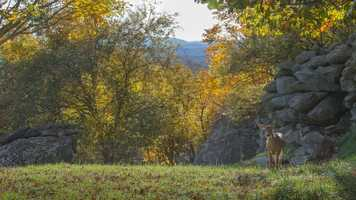 Oct. 11: A deer ambles through the animal habitat at Grandfather Mountain as if admiring the autumn splendor around her. (Photo by Skip Sickler) In the High Country, residents are beginning to take note of another color change that signals the presence of fall: the transition of the deer's fur from tan to gray.